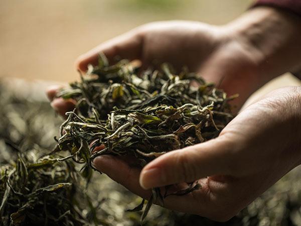 游志坚深夜看望ca88茶厂制茶人员